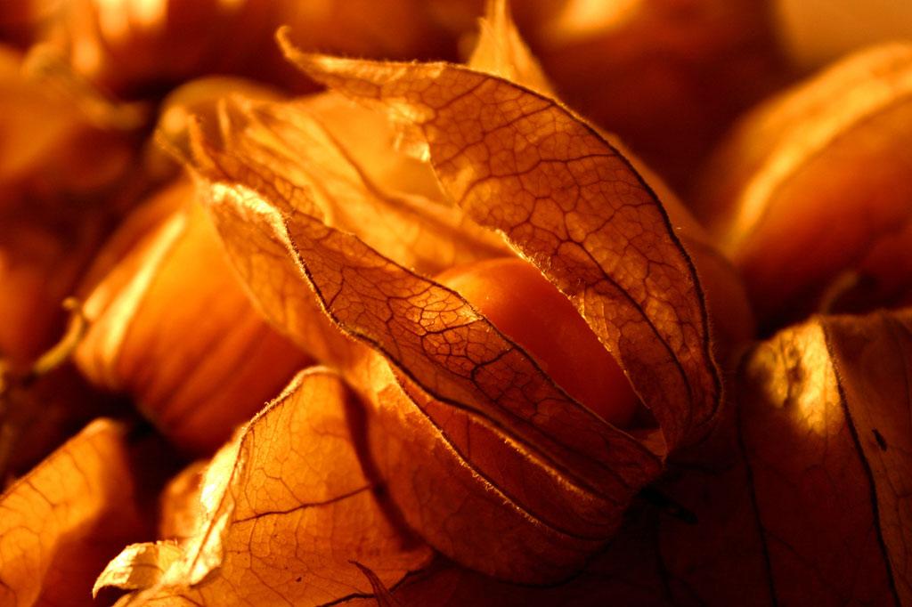 Quả tầm bóp, còn được gọi là trái thù lù, trông giống như quả cà chua, nhưng hương vị giống mùi dâu tây. Chúng có nhiều công dụng như trị cảm sốt, yết hầu sưng đau, ho nhiều đờm, phiền nhiệt nôn nấc, có thể ăn hoặc sắc thuốc.