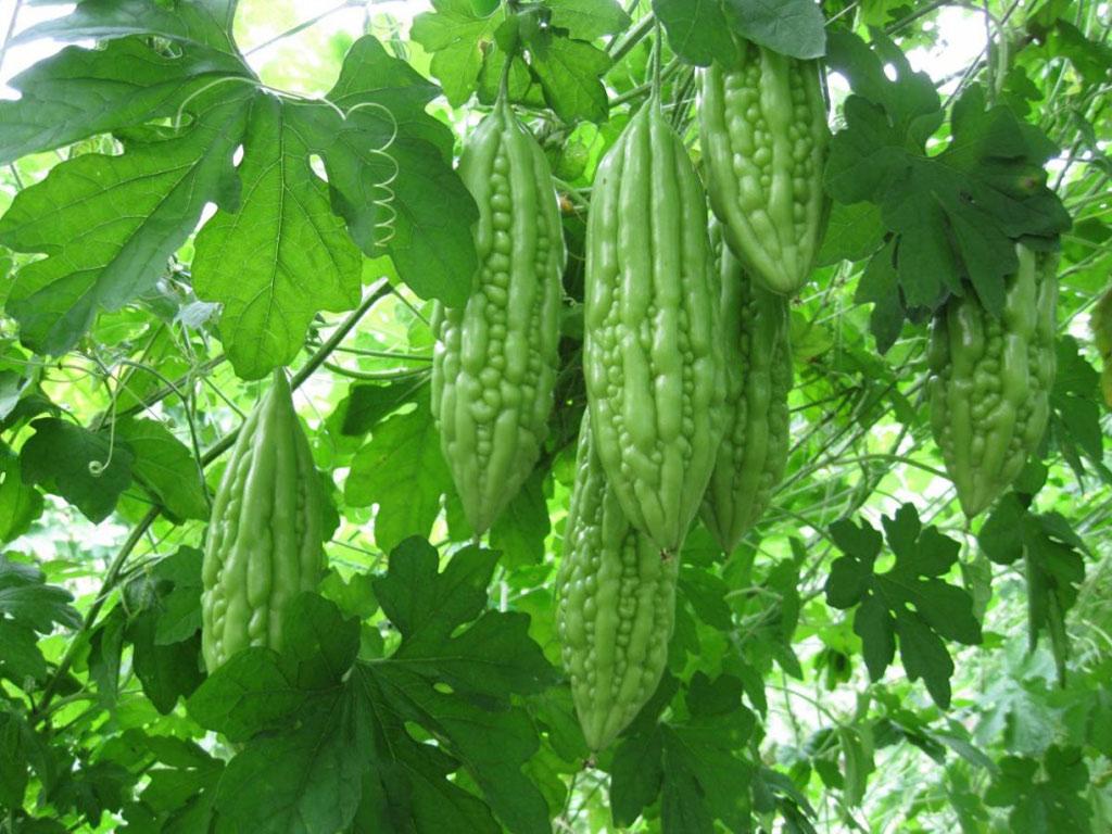 Mướp đắng thực sự là một loại trái cây. Nó có vị đắng, trồng ở khu vực châu Á, vùng Caribe và châu Phi.