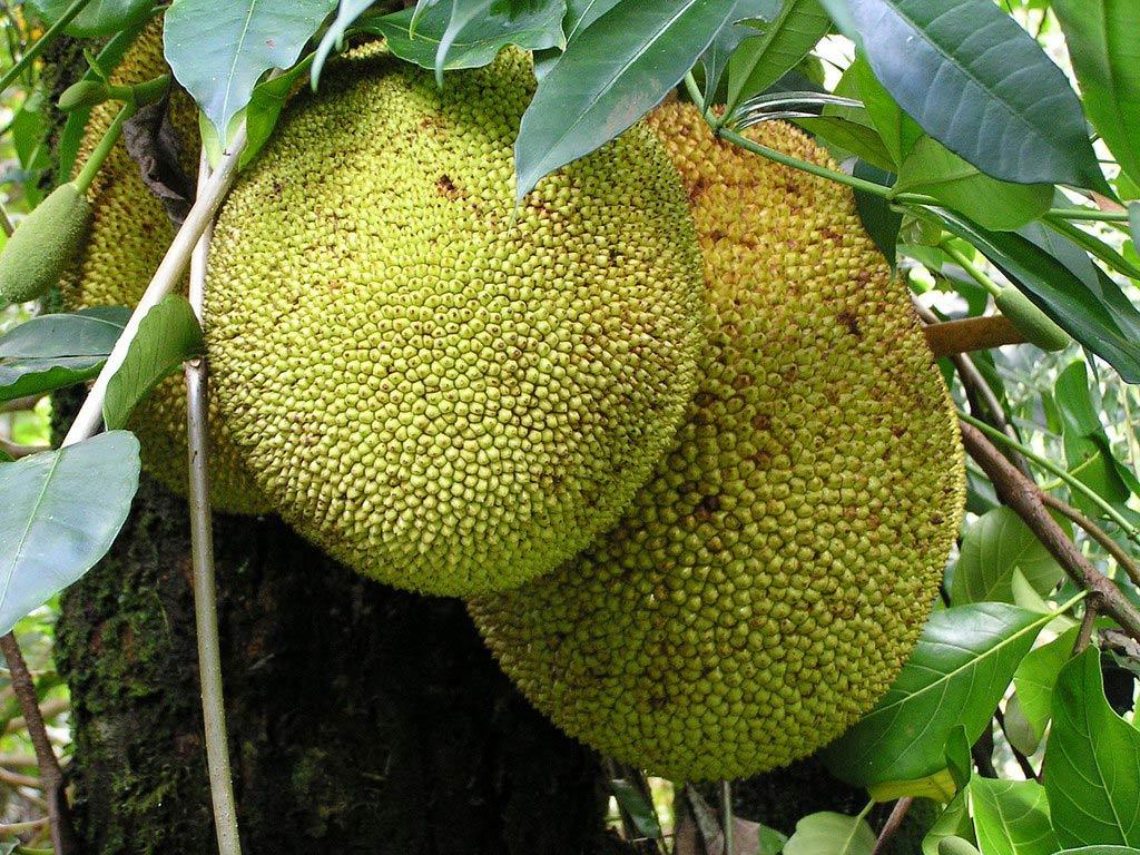 Quả mít được xem là loại trái lớn nhất mọc trên cây