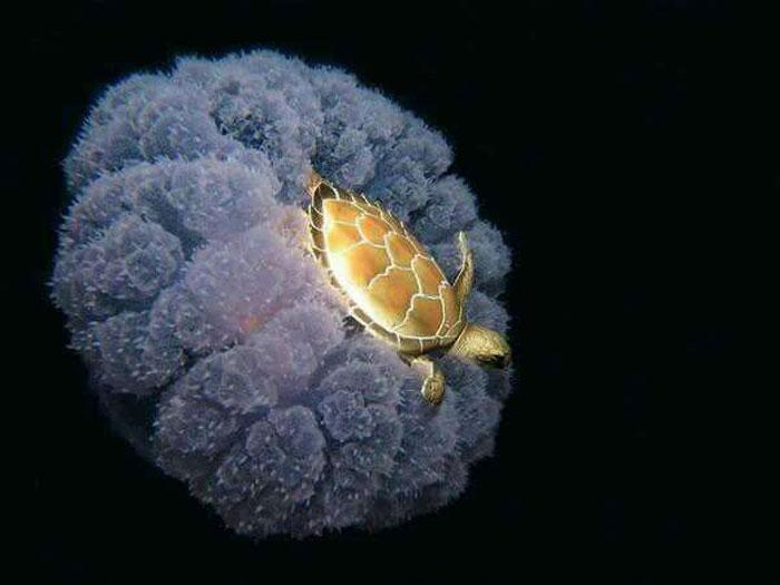 Một con rùa biển vàng đang cưỡi một con sứa
