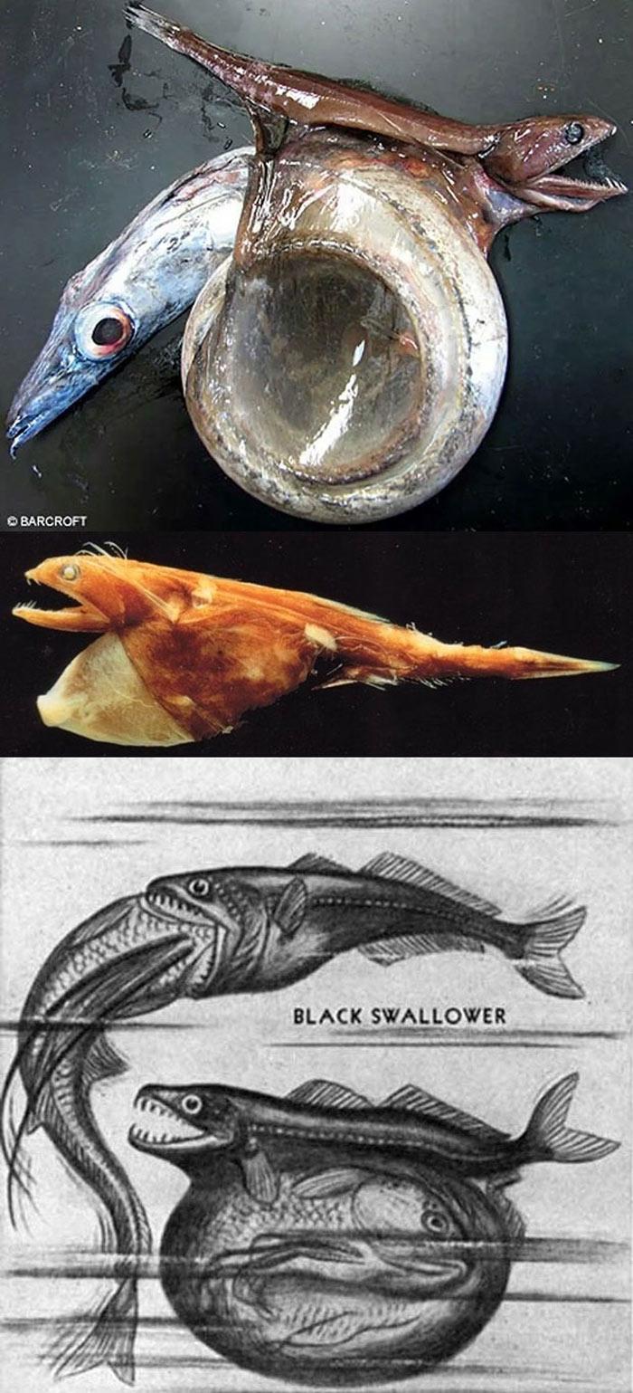 Đây là loài cá được biết với tên The Black Swallower, nó có thể ăn được một con cá khác có chiều dài gấp đôi, và chiều rộng gáp 10 so với nó.