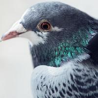 Dùng chim bồ câu để đo mức độ ô nhiễm không khí