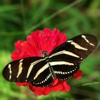 Bí mật quỷ quyệt của bươm bướm