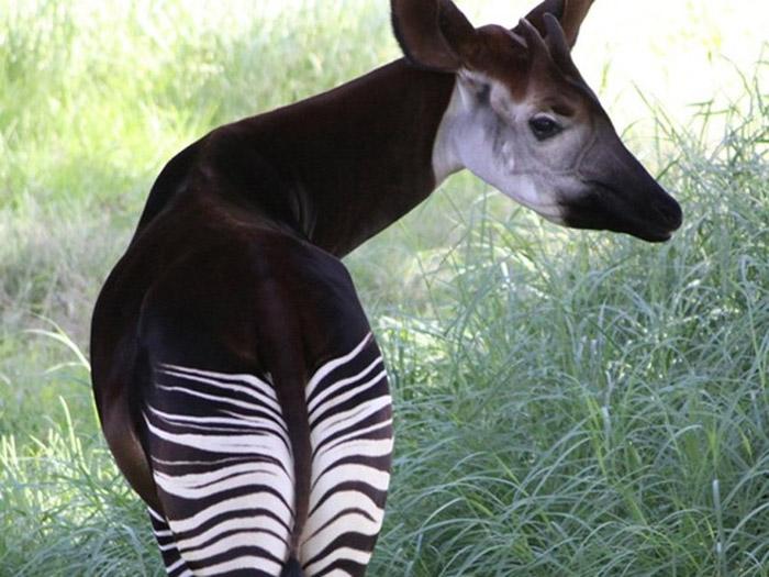 Hươu đùi vằn (Okapi)