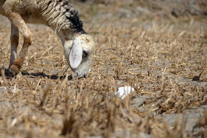 Đàn cừu lớn nhất Việt Nam ở Ninh Thuận có nguy cơ chết đói vì hạn hán kéo dài