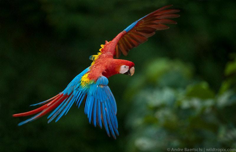Vẹt đỏ đuôi dài