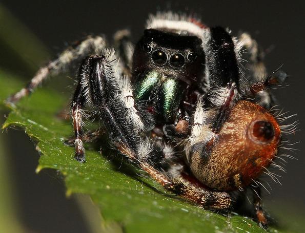 Nhện cái to khỏe và hung hãn hơn nhện đực.