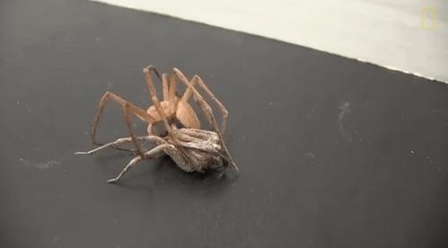 """Một số loài nhện cũng có cách """"yêu"""" rất... hung bạo"""