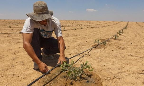 Tưới nhỏ giọt cho từng gốc cây với liều lượng nhất định.