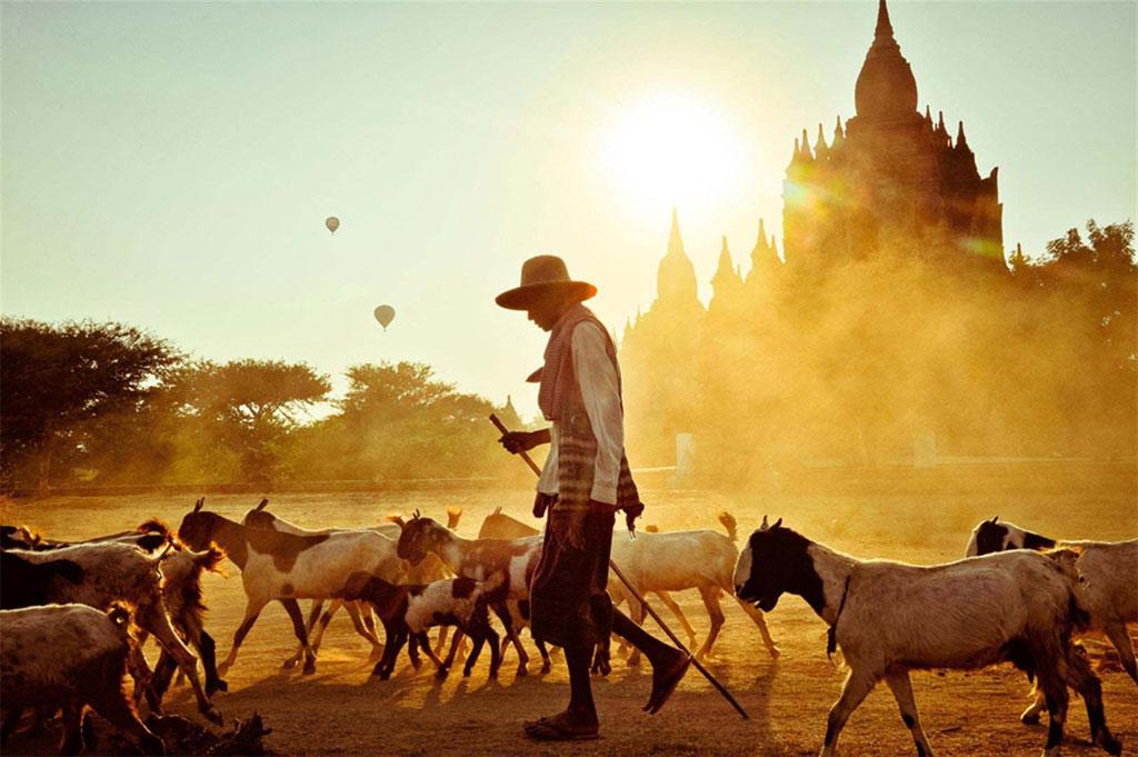 Hình ảnh người chăn dê trong ánh hoàng hôn lộng lẫy ở Bagan đẹp như cảnh trong phim của Holywood.
