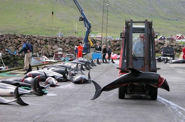 Cá heo bị xẻ thịt rồi đưa ra các chợ hải sản.