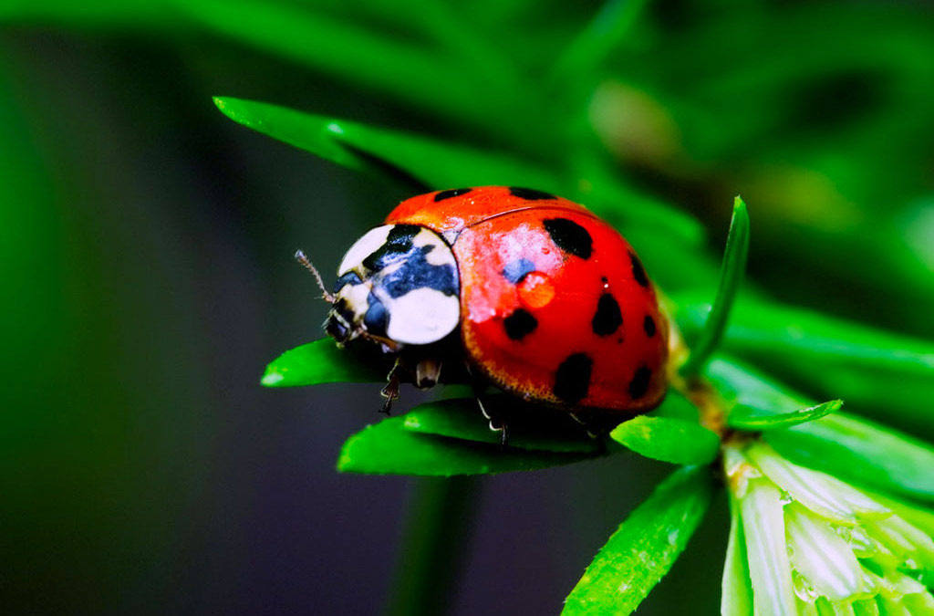 """Loài bọ rùa thường thấy nhất là bọ rùa """"7 sao"""". Chúng được gọi như vậy vì trên bộ cánh vỏ vàng cam của chúng có bảy nốt đen."""