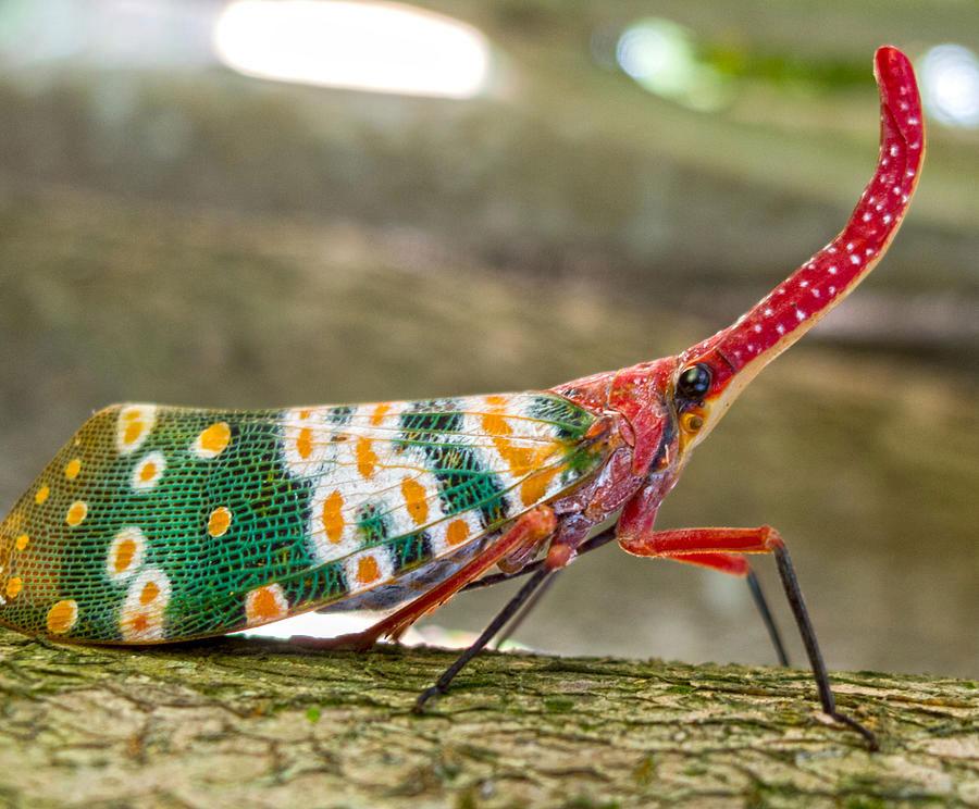Bọ đèn lồng hay còn được gọi là bọ voi hay Pinocchio, là một loài côn trùng nhiệt đới.