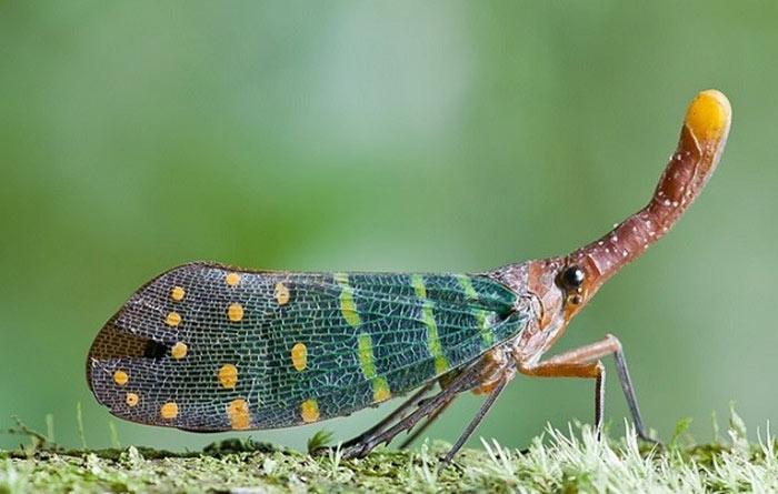 """Thật ra cái """"mũi"""" dài này chính là do miệng của chúng kéo dài ra nhằm giúp cho việc hút nhựa cây được dễ dàng hơn. Những chiếc """"mũi"""" này cũng có nhiều màu sắc như chính bộ cánh của chúng vậy."""