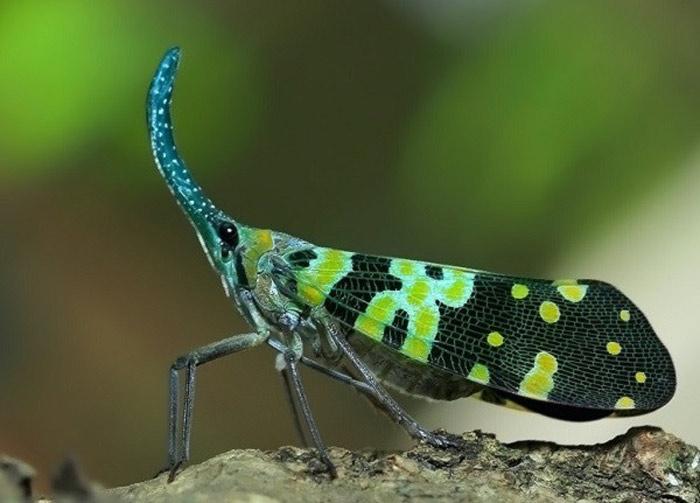 Chính những chiếc cánh đầy màu sắc với khả năng phản xạ ánh sáng đã khiến bọ đèn lồng tỏa sáng trong đêm.