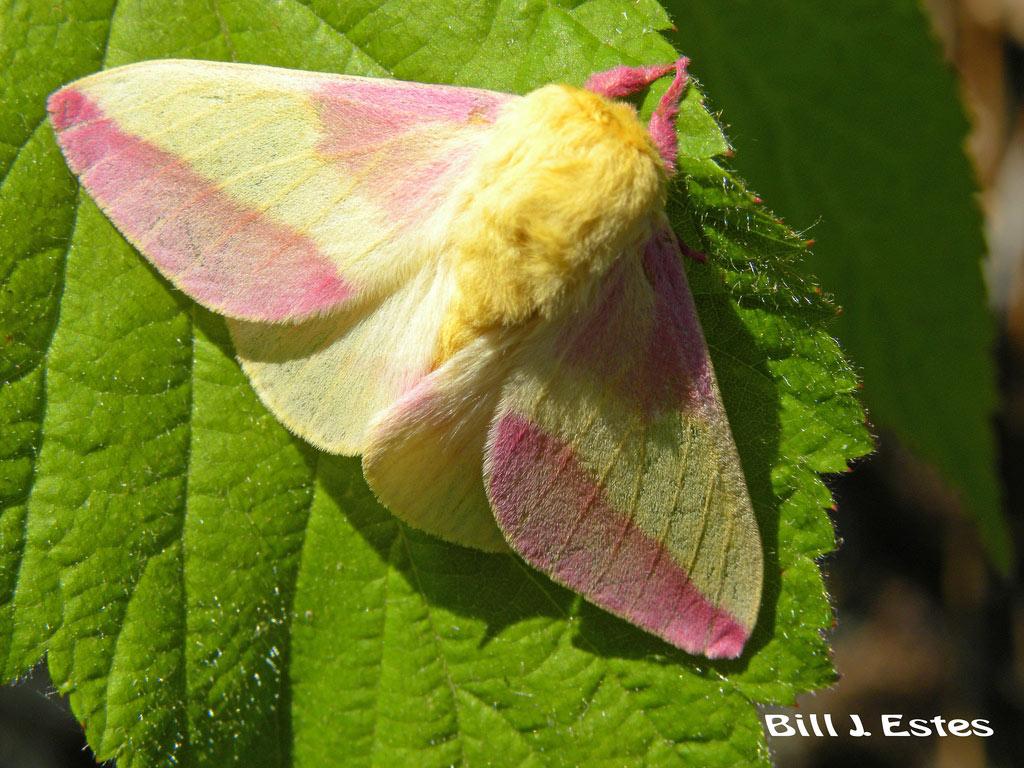 Bướm đêm phong hồng là một loài bướm đêm Bắc Mỹ thuộc họ Saturniidae