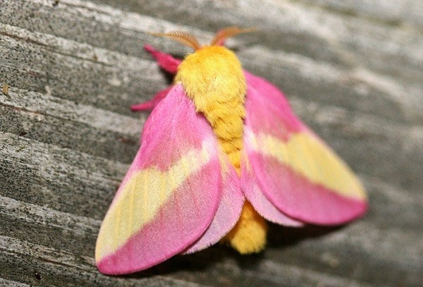 Thông thường, một con bướm đêm phong hồng có sải cánh dài khoảng 3,4 - 5,2cm và râu của con đực có xu hướng lớn hơn con cái.c