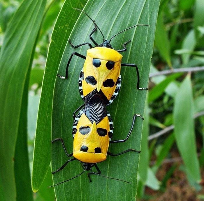 """Bọ """"mặt người"""" - Loài vật chuyên hút mật hoa có nguồn gốc từ Đông Nam Á."""