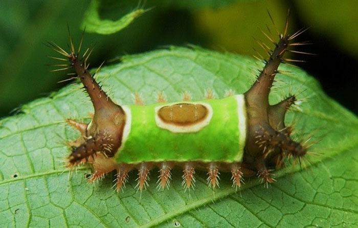 """Sâu bướm """"lưng yên ngựa"""" là ấu trùng của một loài bướm đêm có nguồn gốc từ miền Đông Bắc Mỹ."""