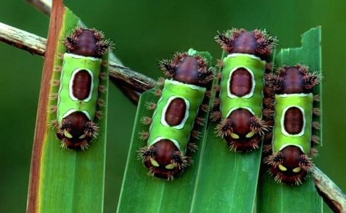 """Loài sâu bướm này đặc trưng với hai đầu có màu nâu đậm cùng những chiếc """"sừng"""" nhiều gai nhọn."""