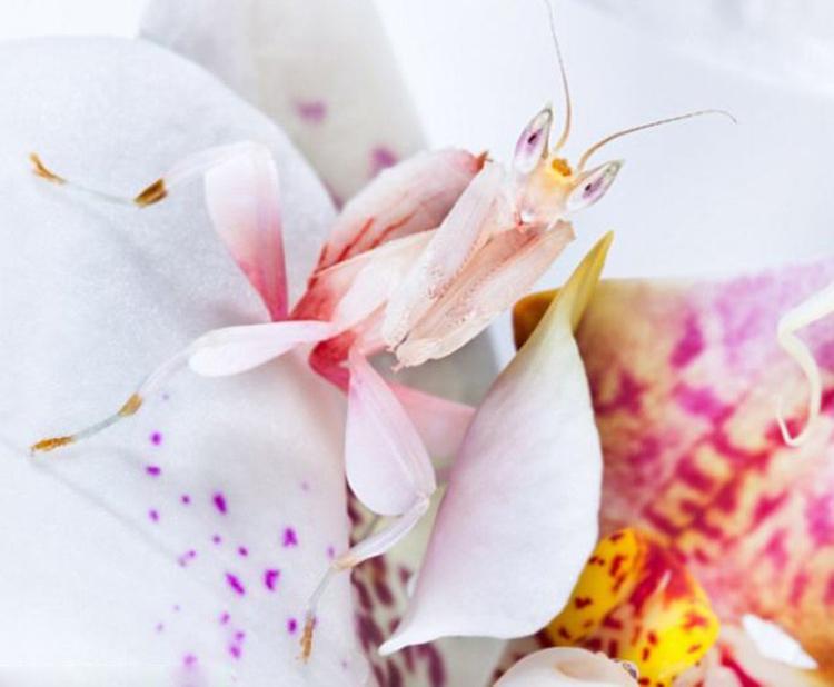Bốn chân của chúng trông giống hệt như những cánh hoa lan, trong khi các cặp chi trước có răng cưa giống như các loài bọ ngựa khác được sử dụng trong việc nắm bắt con mồi.