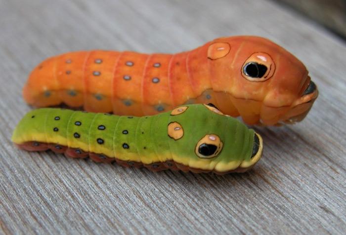 Loài sâu bướm đuôi nhạn Spicebush phân bố chủ yếu ở vùng Đông Nam của khu vực Bắc Mỹ.
