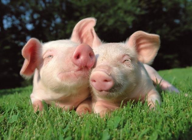 Cơn cực khoái của lợn kéo dài trong 30 phút.