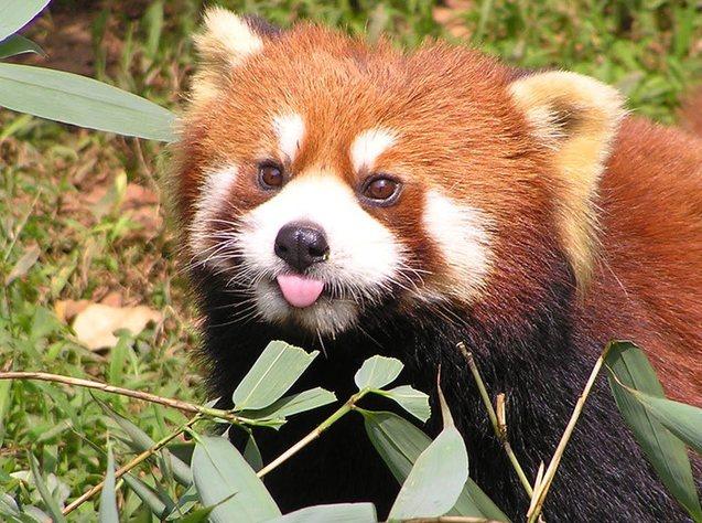 Logo trình duyệt Firefox không phải là con cáo