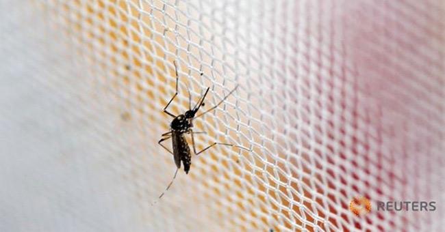 Muỗi vằn Aedes aegypti, thủ phạm lây truyền virus Zika.