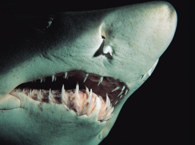 Cá mập có cơ quan thụ cảm cực nhạy trong mũi, giúp phân tích mùi chuẩn xác.