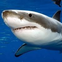 Liệu cá mập có thể ngửi thấy mùi một giọt máu cách nó 400m?