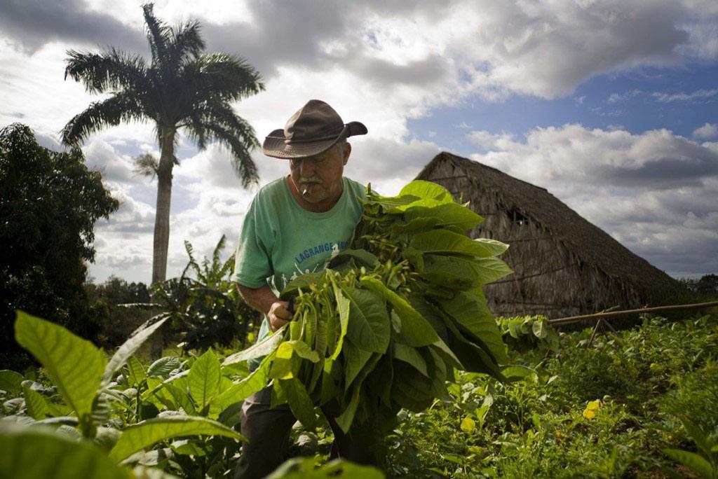 Ông Raul Valdes Villasusa thu hoạch thuốc lá ở một trang trại gần Pinar del Rio. Việc quấn xì gà được coi là một nghệ thuật ở Cuba, và thường được truyền qua nhiều thế hệ.