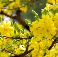 Năm nay là năm có mùa xuân bắt đầu sớm nhất kể từ năm 1896