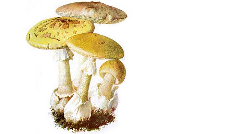 Nấm mũ tử thần, chỉ cần 30 g chất độc amatoxin (tương đương một nửa cây nấm) là đủ để giết chết một người trưởng thành.