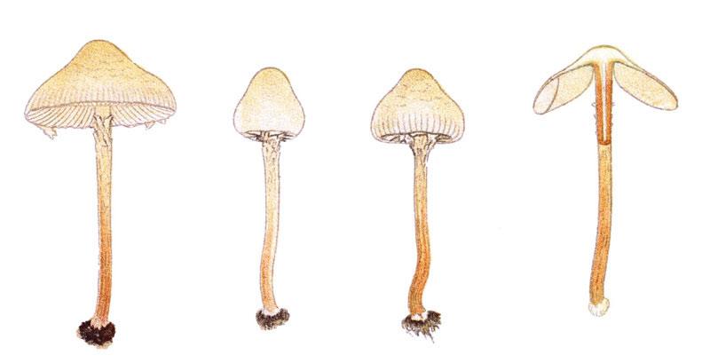 Nấm Deadly Dapperling, thuộc họ Lepiota, thường mọc trong các khu rừng thông ở châu Âu và Bắc Mỹ. Loại nấm này chứa amatoxin, độc tố gây ra 80-90% ca tử vong do ngộ độc nấm.