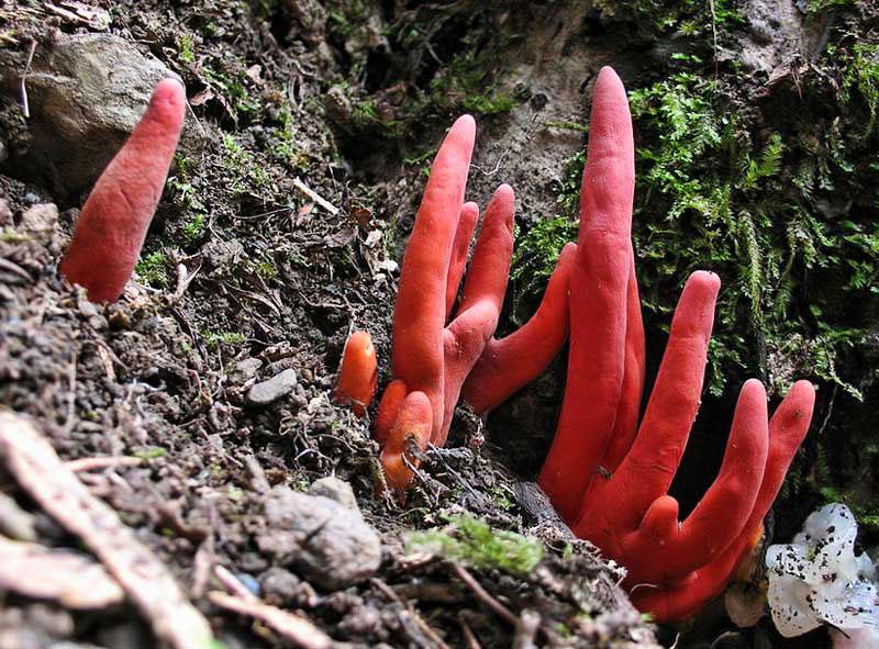 Nấm Podostroma Cornu-damae có hình dáng giống bàn tay người. Độc tố chính trong loại nấm này là trichothecene mycotoxin, hợp chất gây ra những triệu chứng khó chịu và có thể dẫn đến tử vong sau vài ngày.
