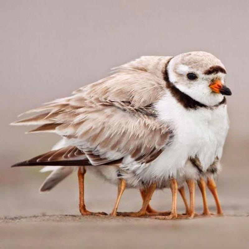 Sao con gà này lắm chân vậy?