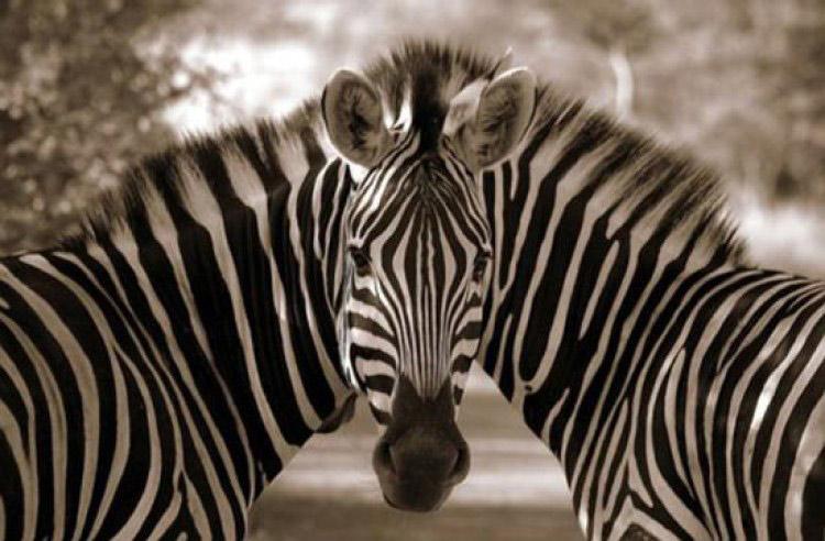 Hai con ngựa vằn sinh đôi nhưng chung đầu chăng?