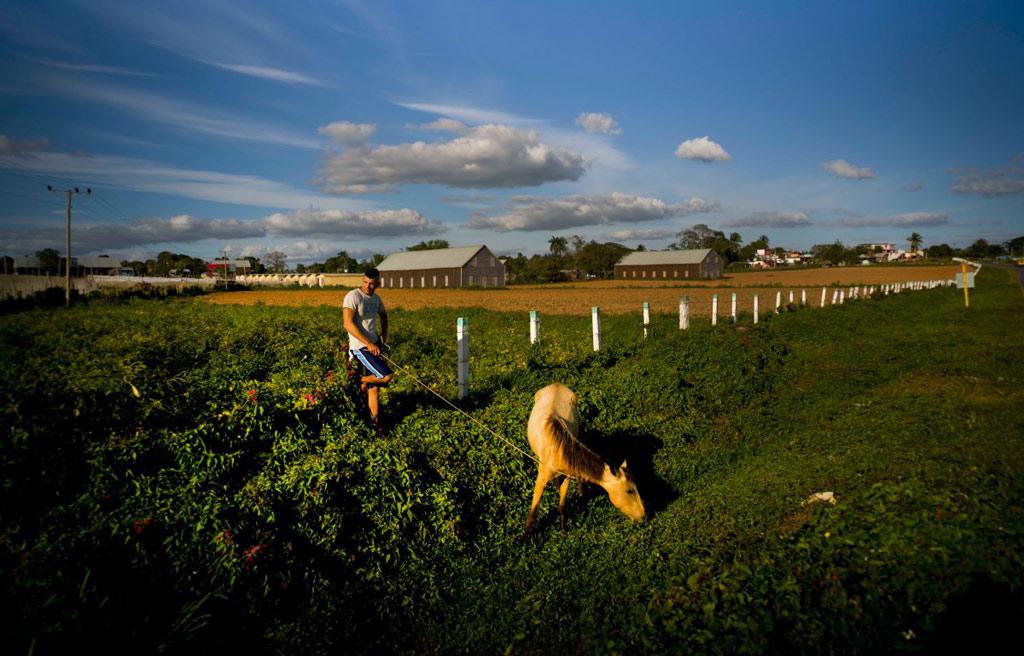 Cây thuốc lá thường được trồng vào cuối năm trong khoảng 3 tháng trước khi thu hoạch. Mỗi cây cho khoảng 30 chiếc lá và người nông dân phải ngắt từng chiếc một cách thật cẩn thận.