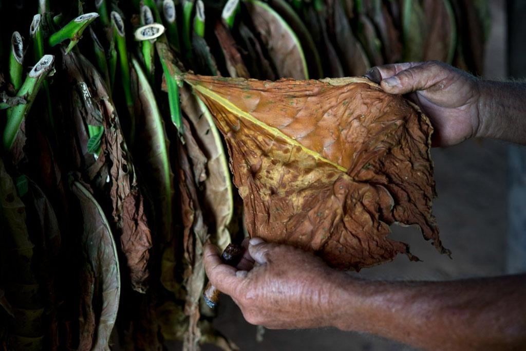 Montesino là trang trại hữu cơ, không sử dụng thuốc sâu hay các chất hóa học. Người nông dân dùng tay để bắt côn trùng bám trên lá.
