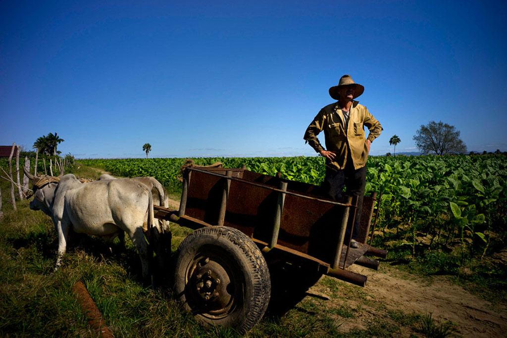 Người nông dân hy vọng trong thời gian tới sẽ xuất khẩu được nhiều xì gà ra thế giới