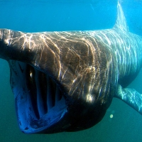 Cá mập khổng lồ xuất hiện cạnh sân golf tỷ phú Trump