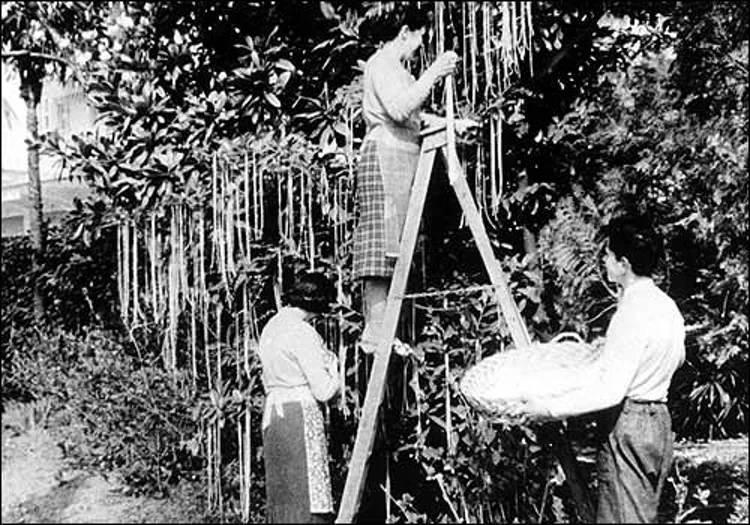 Hình ảnh thu hoạch mỳ ống tại miền Nam Thụy Sĩ trên đài BBC.