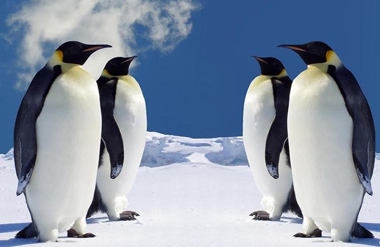 Chim cánh cụt bay tới Amazon tránh rét.