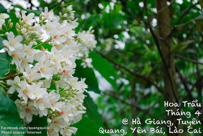 Dịp tháng 4 là khi Hà Giang, Tuyên Quang, Yên Bái, Lào Cai được nhuộm trắng bởi loài hoa trẩu xinh đẹp