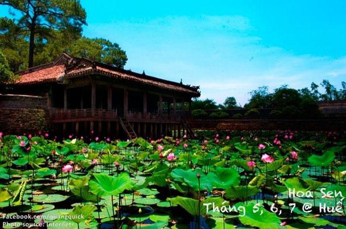 Sen mọc nhiều ở các vùng Hộ thành Hào bao quanh khu thành cổ phía bắc TP Huế hay trên đoạn sông Ngự Hà bắc qua những cây cầu đá cổ và hai bên hồ Tĩnh Tâm