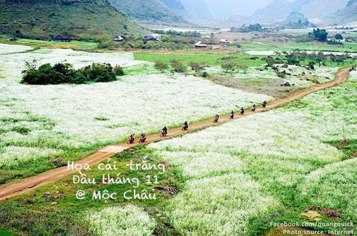 Hoa cải trắng ở Mộc Châu