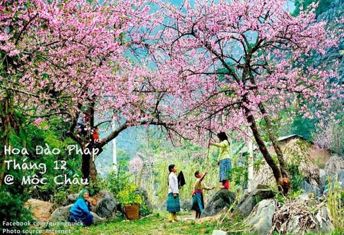 Hoa đào Pháp có màu nhạt và ít cánh so với giống đào rừng vốn nở vào mỗi dịp tết âm lịch ở Mộc Châu
