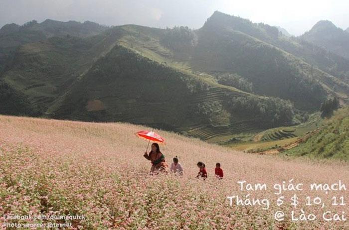 Hoa tam giác mạch - Lào Cai