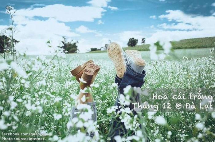 Hoa cải trắng - Đà Lạt